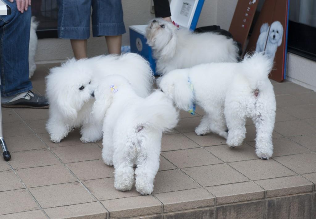 左側で挨拶してるのは一番のゴージャス犬、ティアモちゃんとピコ