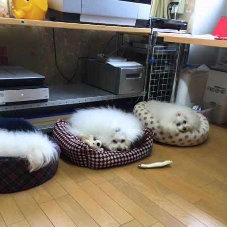 昨日は自宅で比較的長い留守番だった我家のスリーボロズ、本日職場でふて寝かな・・・?