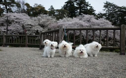 兼六園の桜をバックに本日の集合写真