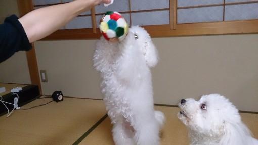 ニューボールで戯れる、ベイピコ