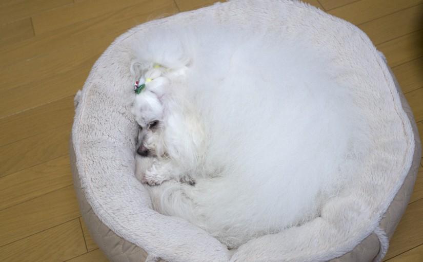 ボロズはベッドで丸くなる